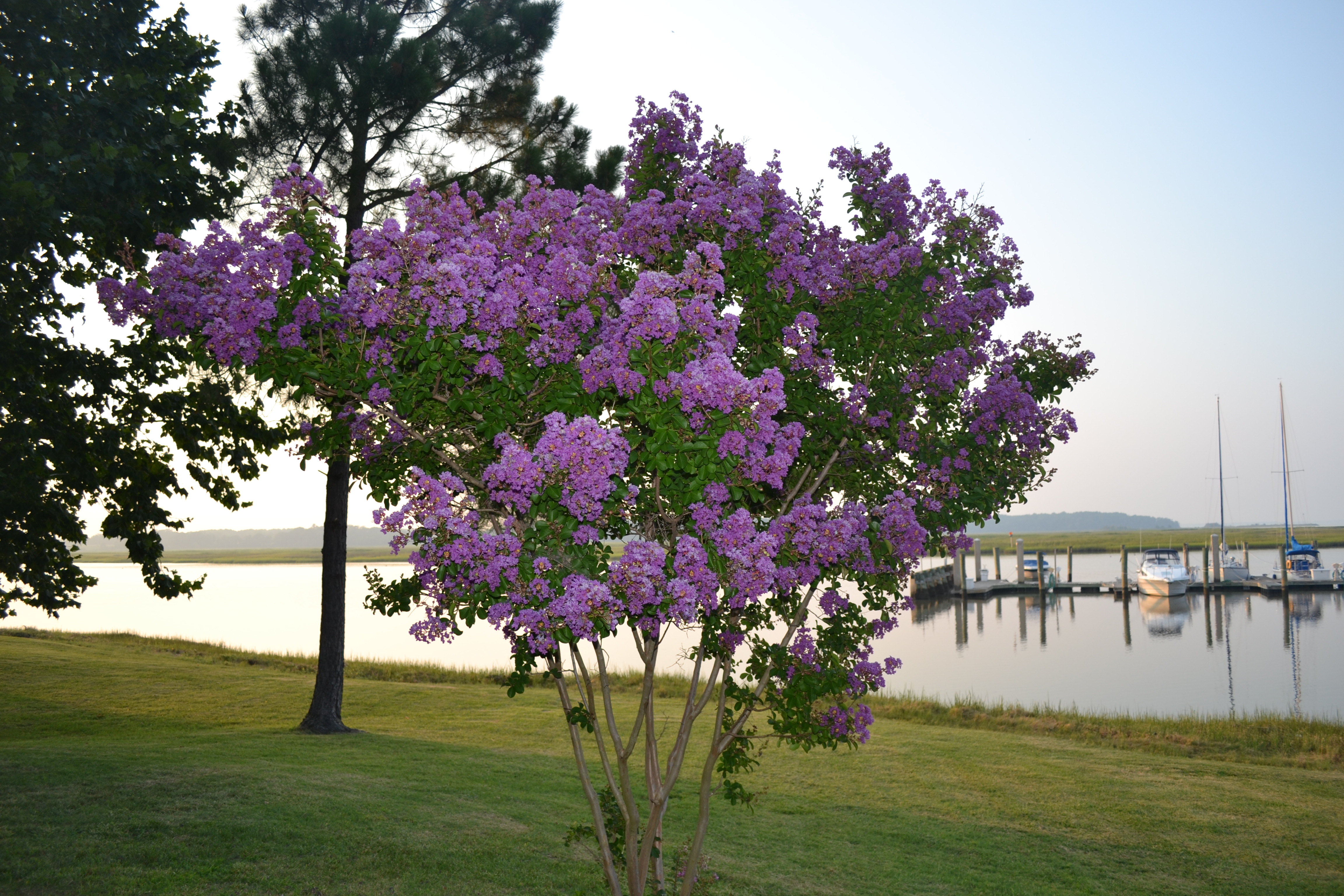 crape myrtle2 pm there were several crape myrtles