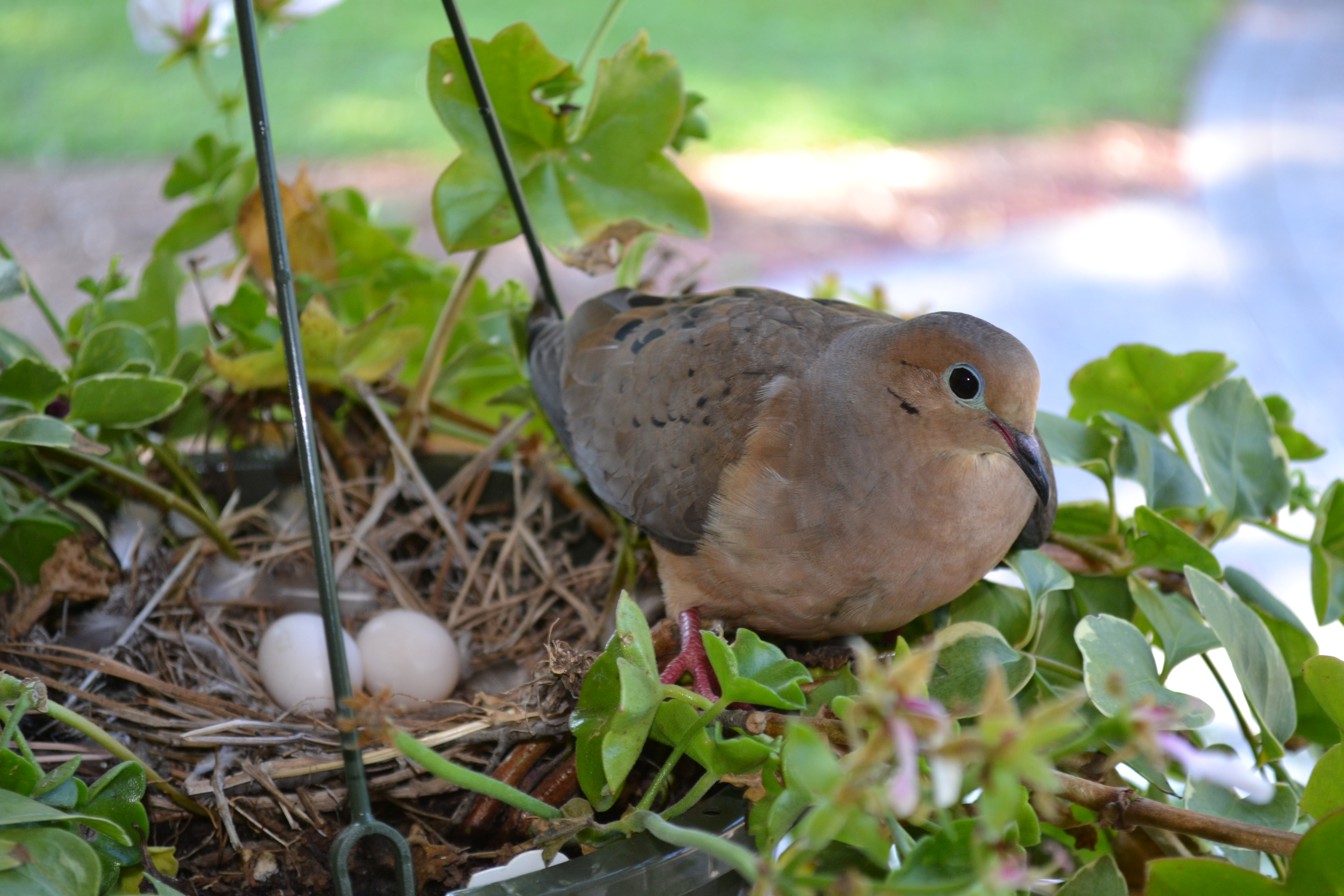 Mourning Dove Nest DIY How To Make A Dove...