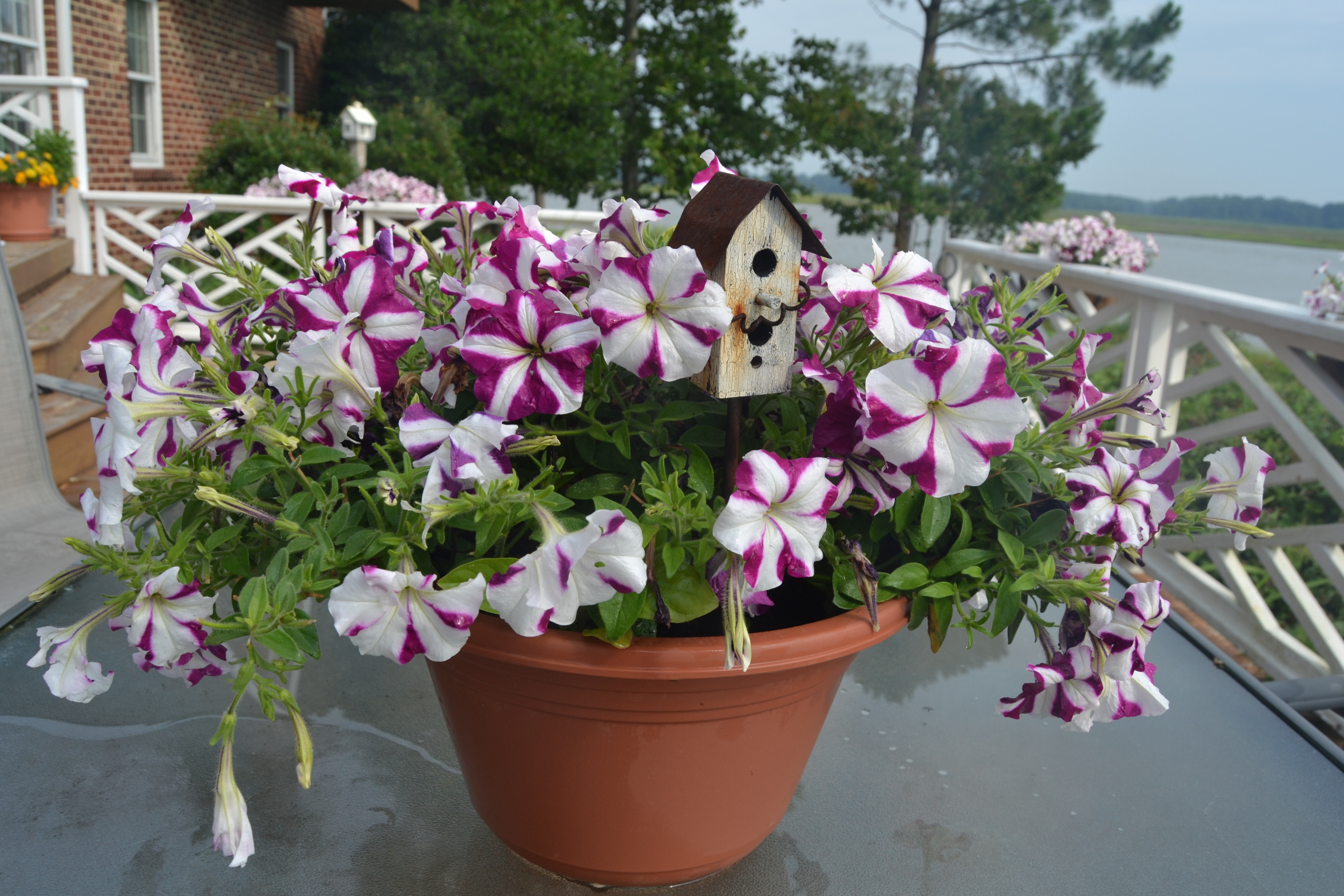 Wave petunias these days of mine - Wave petunias in containers ...