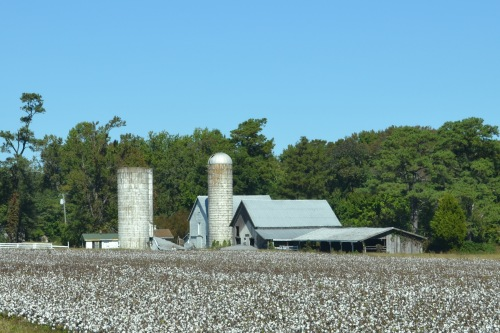 cotton field yeoman barn