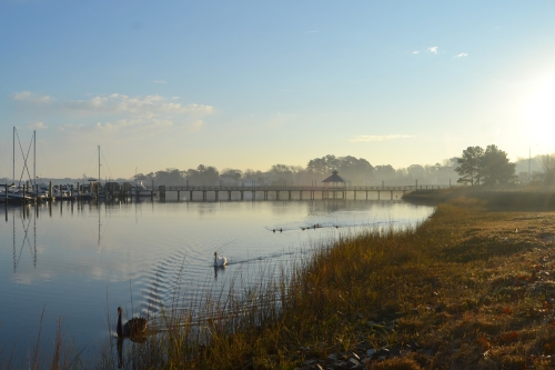 swans in morning