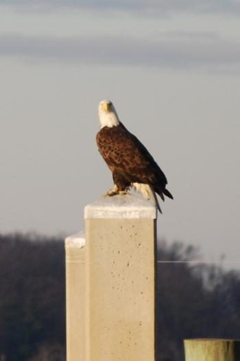 eagle at marina