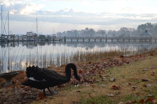 groom swan