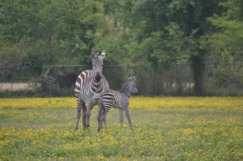 zebra and  mom