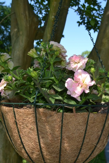 heirloom petunia basket