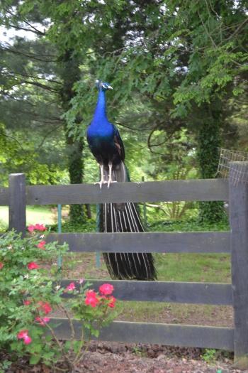 jr peacock