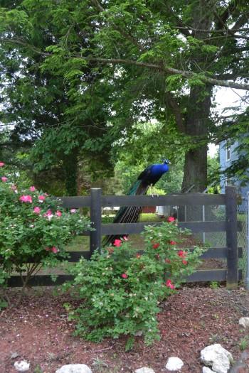 peacock last