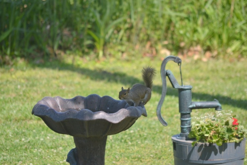 squirrel in bird bath