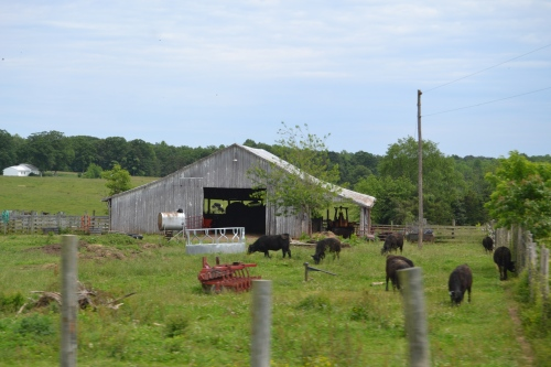 barn and cows