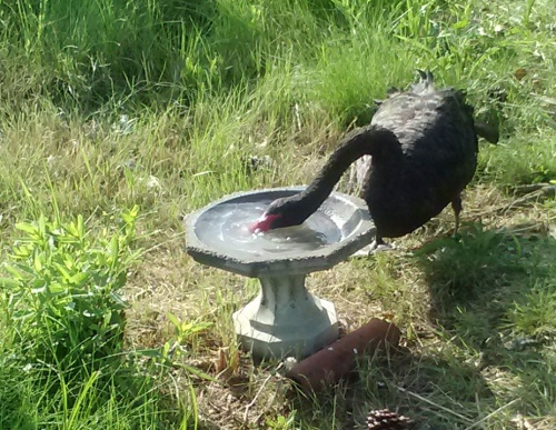 groom swan and bird bath