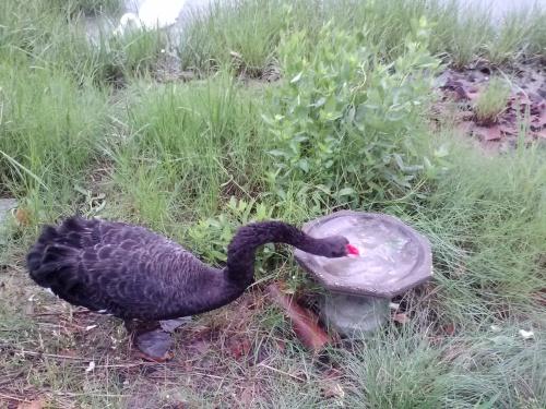 groom swan dipping bread
