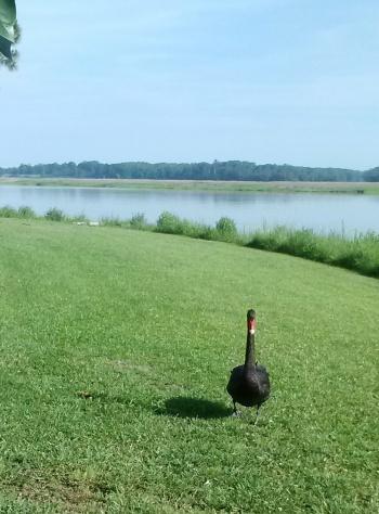 groom swan walking