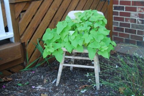 sweet potato vine 2009 9-14-2009 9-53-53 AM