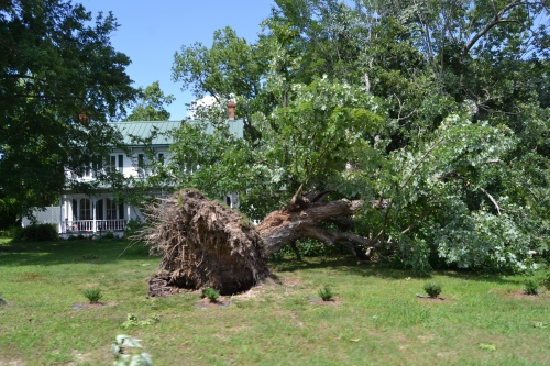 uprooted tree and house