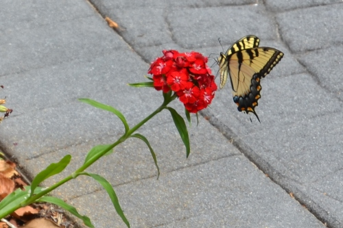 butterfly on sw william 7-8-2013 2-16-25 PM