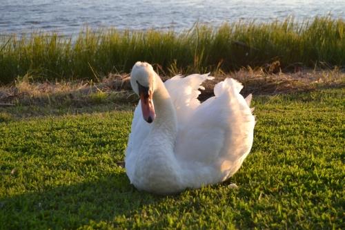 bride swan3 9-14-2013 7-12-06 AM