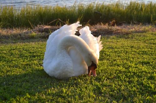 bride swan4 9-14-2013 7-12-09 AM