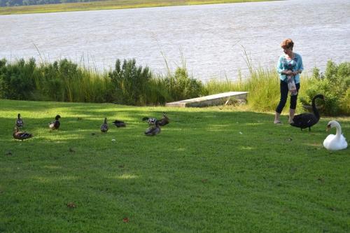 db swans ducks 8-24-2013 4-09-28 PM