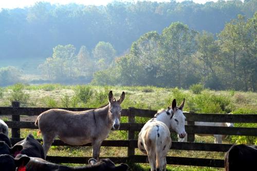 donkeys 10-6-2013 9-11-32 AM