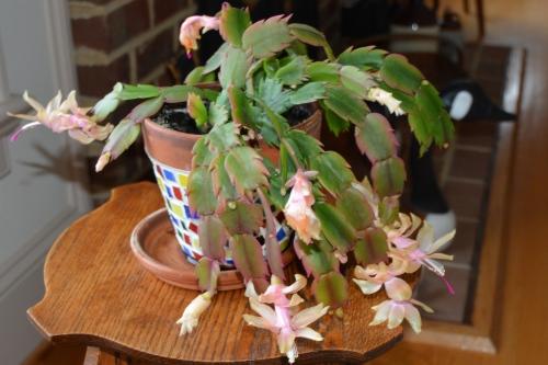 christmas cactus 12-5-2013 3-35-44 AM