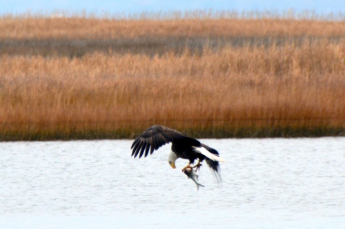 eagle with fish 12-16-2013 8-28-36 PM