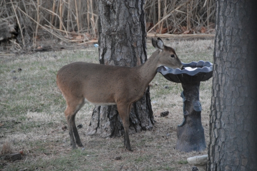 deer and birdbath 1-19-2014 5-22-12 AM