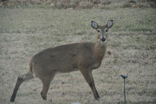 mama deer 1-19-2014 5-21-25 AM