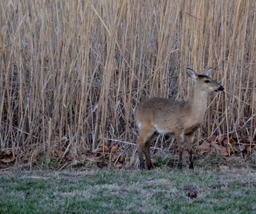 baby deer 3-9-2014 5-27-36 PM