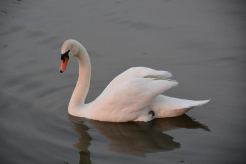 bride swan 4-10 4-11-2014 7-16-04 PM