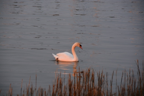 bride swan sunset 4-11 4-11-2014 7-22-24 PM
