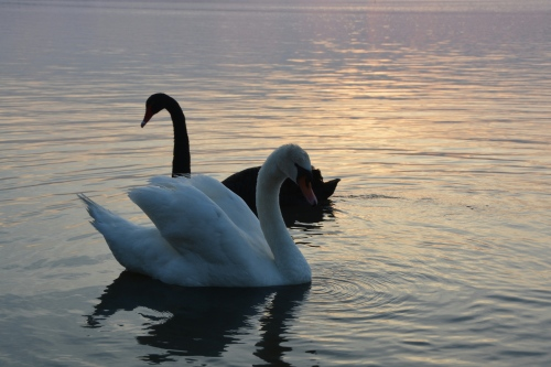 2 swans 5-20-2014 7-47-45 PM