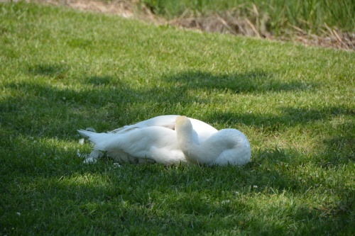 bride swan sleeping 5-14-2014 2-25-46 PM