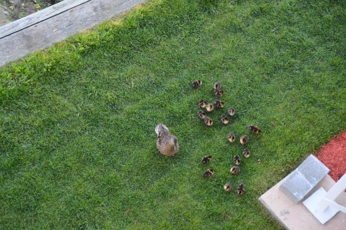 duck and ducklings 5-4-2014 6-22-03 AM