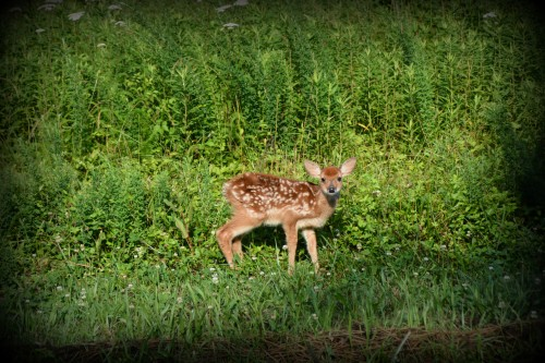 fawn 6-14-2014 8-25-05 AM