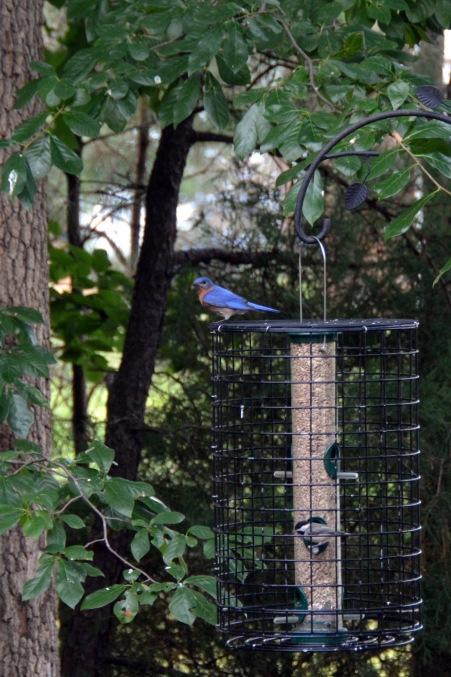 bluebird 7-1-2014 5-49-48 PM