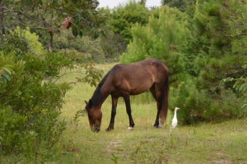 horse and egret 7-23-2014 8-40-35 AM