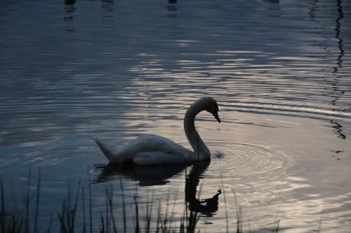 bride swan 8-12-2014 7-23-40 PM