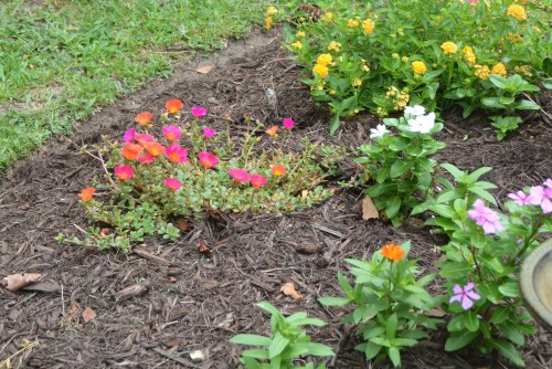 front flowerbed purslane 8-9-2014 12-43-10 PM