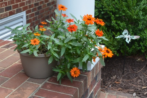 orange zinnia 8-9-2014 12-42-17 PM