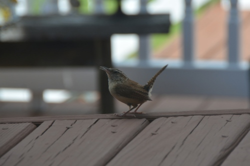 wren on deck 8-25-2014 3-04-32 PM