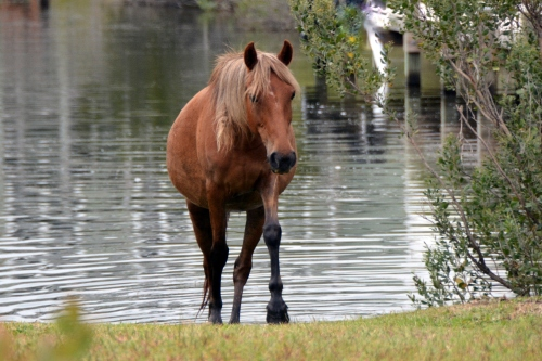 horse coming out of canal 8-30-2014 7-32-01 AM