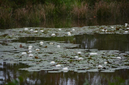 lily pad 9-13-2014 10-19-06 AM