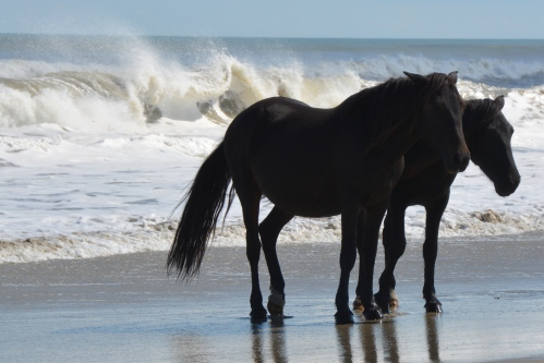 2 black horses in surf 10-4-2014 1-33-15 PM