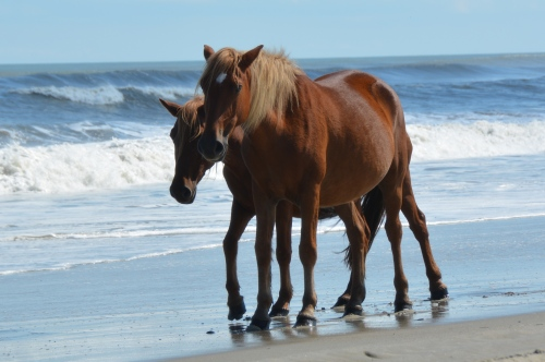 2 brown horses in surf 10-4-2014 1-33-20 PM