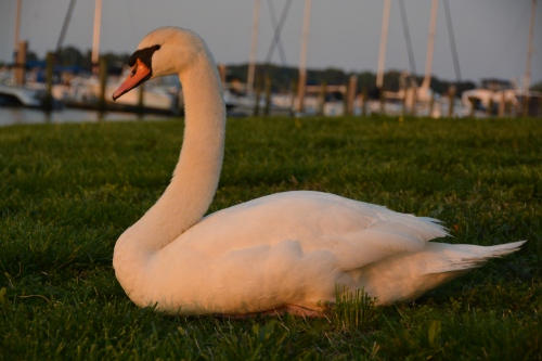 bride swan - boat background 5-1-2014 7-39-41 PM