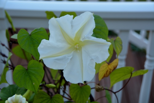 moonflower 10-1-2014 5-36-33 PM