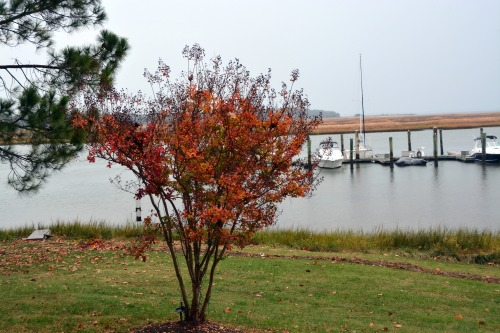 crape myrtle foliage 11-6-2014 3-22-03 PM