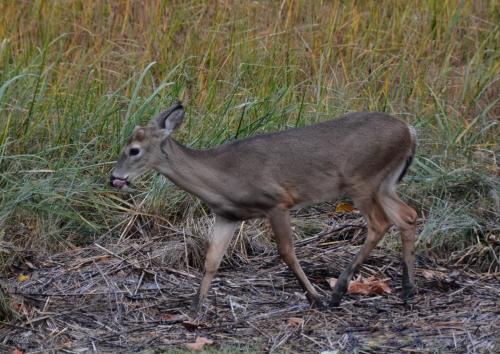 deer1 11-6-2014 4-14-26 PM 11-6-2014 4-14-26 PM