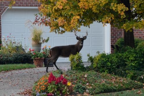 deer2 11-11-2014 7-54-56 AM