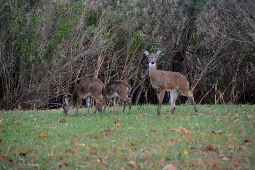 mama deer 2 babies2 11-14-2014 4-41-28 PM
